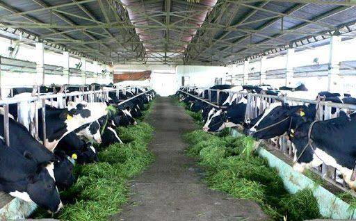 Chăn nuôi bò sữa - hình thức kinh doanh ở nông thôn phổ biến, mang lợi nhuận cao.