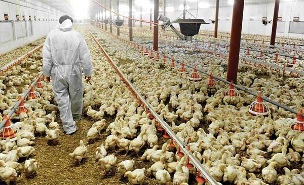 Kinh doanh chăn nuôi gia cầm ở nông thôn.
