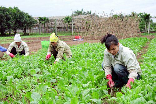 Sản xuất rau hữu cơ - ý tưởng kinh doanh ở nông thôn hợp thị hiếu thành thị.